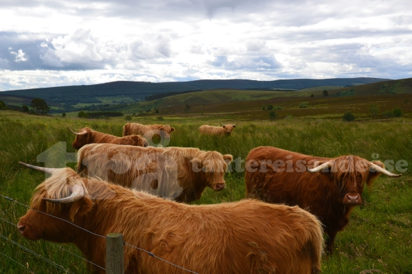 highlandcattle#1