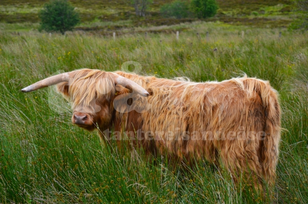 highlandcattle#2