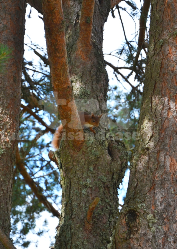 redtailsquirrel