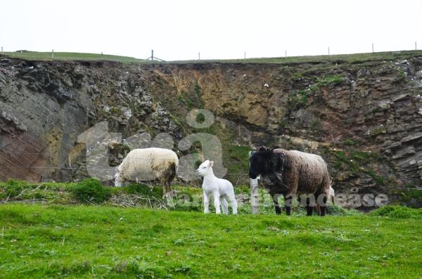 shetland#2